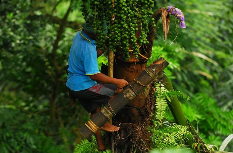 Pohon-Aren-Nira-Foto-via-myimage-Nusantaranews
